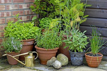 Herbs in pots, in corner of garden patio, Britain  -  Gary K Smith/ FLPA