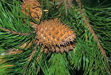 Hickory Pine (Pinus pungens) leaf and fruit  -  Keith Rushforth/ FLPA
