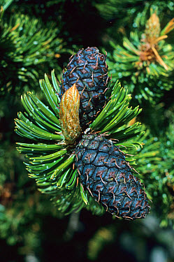 Rocky Mountains Bristlecone Pine (Pinus aristata) cones  -  Larry West/ FLPA