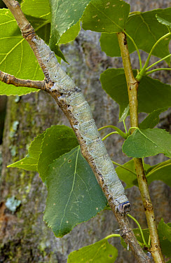 Clifden Nonpareil (Catocala fraxini) 'blue underwing' caterpillar on poplar twig  -  Malcolm Schuyl/ FLPA