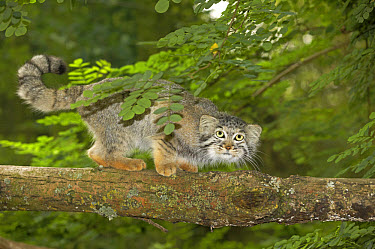 Pallas' Cat (Felis manul) adult on branch  -  Gerard Lacz/ FLPA