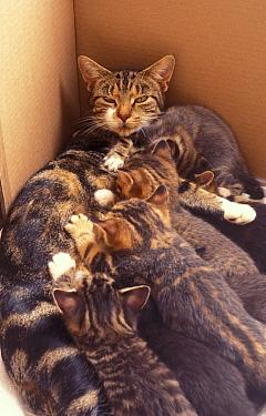 Brown Tabby cat in cardboard box feeding her litter of kittens, mother with babies  -  Angela Hampton/ FLPA