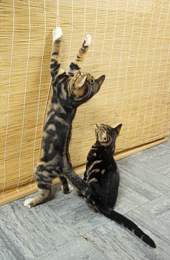 Two mischievous tabby kittens, young cats, one standing on hind legs playing with cord on roller blind, other sitting watching  -  Angela Hampton/ FLPA