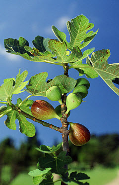 Figs on branch of fig tree against blue sky background in Brazil  -  Silvestre Silva/ FLPA