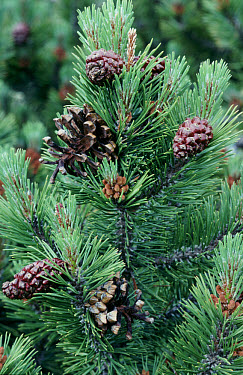 Pine leaves and cones on Pinus uncinata tree  -  Bob Gibbons/ FLPA