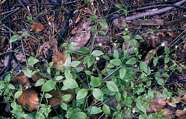 Flowering Three veined Sandwort among leaf debris  -  Bob Gibbons/ FLPA
