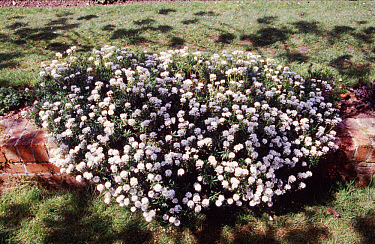 Candytuft flowering plant growing over a stonewall in garden  -  Rosemary Mayer/ FLPA