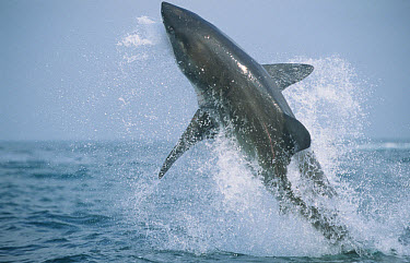 Great White Shark (Carcharodon charcharias) predatory breach on seal decoy, Seal Island, False Bay, South Africa  -  Andrew Parkinson/ FLPA