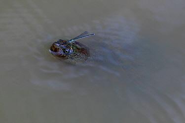 Serrated Snapping Turtle (Elseya latisternum) adult surfacing to breath, damselfly resting on its head, Queensland, Australia  -  Neil Bowman/ FLPA