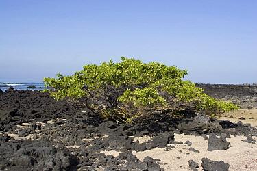 White Mangrove, Laguncularia racemosa, Galapagos Islands, Mangroves  -  David Hosking/ FLPA