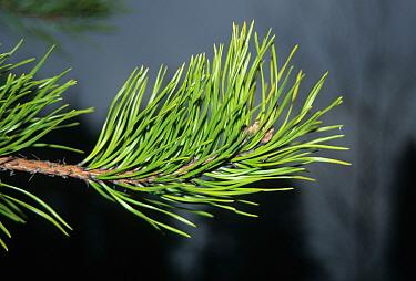 Hickory Pine (Pinus pungens) leaf  -  Keith Rushforth/ FLPA
