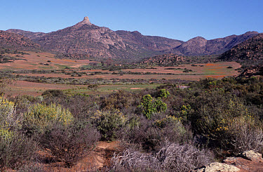 A wide flat landscape of African bush, typical shrubs, with Crown rock in the distance, Kamieskroon, Northern Cape, South Africa  -  Jean Hall/ FLPA