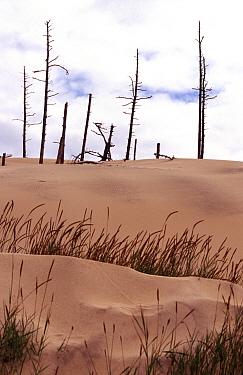 Sand dunes with vegetation, Oregon USA  -  Willem Harinck/ FLPA