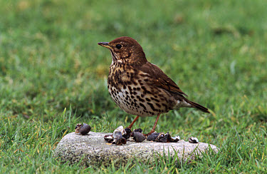 Song Thrush (Turdus philomelos) using stone as an anvil to crack snail shells  -  Mike Lane/ FLPA