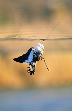 Dead Birds, Dead Spur-winged Plover, caught in net, Israel  -  Yossi Eshbol/ FLPA