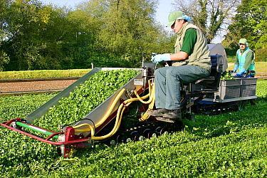 Watercress (Rorippa nasturtium-aquaticum) crop, mechanical harvester cutting watercress for the salad market, Dorset, England  -  Nicholas and Sherry Lu Aldridge/