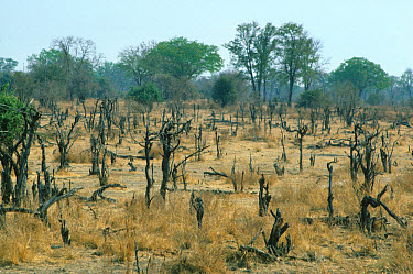 Enviromental damage by animals, dead tree stumps, grazing pressure by African Elephants, Luangwa National Park, Zambia  -  Patrick G. Haynes/ FLPA