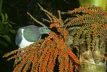 New Zealand Pigeon (Hemiphaga novaeseelandiae) perched, feeding on Nikau Palm berries, New Zealand  -  Geoff Moon/ FLPA