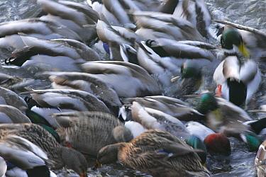 Mallard (Anas platyrhynchos) group in feeding frenzy, blurred movement, Norfolk, England  -  Paul Hobson/ FLPA