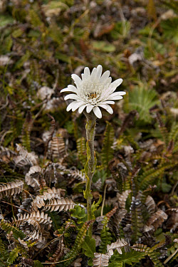 Vanilla Daisy Leucheria suaveolens, Falkland Islands, plant,plants  -  David Hosking/ FLPA