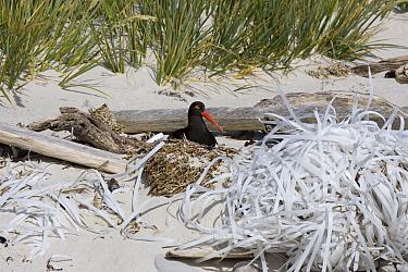 Magellanic Oystercatcher, Haematopus leucopodus nesting by plastic string wast on Falkland beach  -  David Hosking/ FLPA