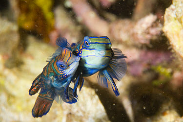 Mandarinfish (Synchiropus splendidus) mating pair, Lembeh Island reef, Lembeh Straits, Sulawesi, Indonesia  -  Colin Marshall/ FLPA