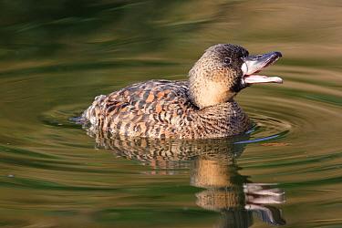 African White-backed Duck (Thalasornis leuconotus) adult, display calling whilst swimming  -  John Watkins/ FLPA