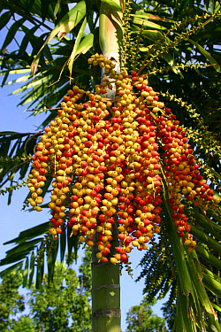 Betelnut Palm (Areca catechu) fruits in tropical garden, Philippines  -  Nicholas and Sherry Lu Aldridge/