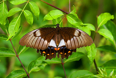 Orchard Butterfly (Papilio aegeus) adult female resting, Lamington National Park, Queensland, Australia  -  Neil Bowman/ FLPA