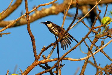 White-cheeked Honeyeater (Phylidonyris nigra) adult perched, wing stretching, New South Wales, Australia  -  Neil Bowman/ FLPA