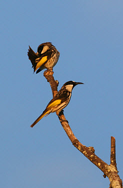 White-cheeked Honeyeater (Phylidonyris nigra) two adults perched on dead branch, preening, New South Wales, Australia  -  Neil Bowman/ FLPA