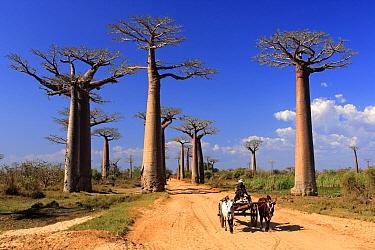 Baobab (Adansonia grandidieri) trees at edge of road with ox cart, Avenue of the Baobabs, Madagascar  -  Jurgen and Christine Sohns/ FLPA
