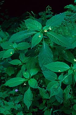Small Balsam (Impatiens parviflora) flowering  -  Bob Gibbons/ FLPA