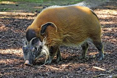 Red River Hog (Potamochoerus porcus) adult male  -  Jurgen and Christine Sohns/ FLPA