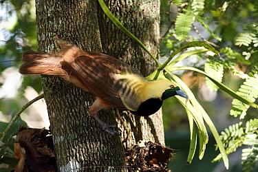 Raggiana Bird-of-paradise (Paradisaea raggiana) adult with food in beak  -  Jurgen and Christine Sohns/ FLPA