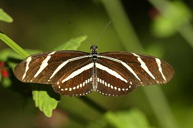 Zebra Butterfly (Heliconius charitonius) adult, Florida  -  Jurgen and Christine Sohns/ FLPA