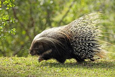Cape Porcupine (Hystrix africaeaustralis) adult walking  -  Jurgen and Christine Sohns/ FLPA