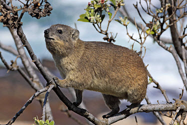 Rock Hyrax (Procavia capensis) adult in tree, South Africa  -  Jurgen and Christine Sohns/ FLPA