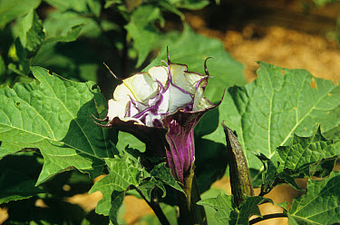Thorn Apple (Datura stramonium) purple flower, flowering in garden  -  M. Szadzuik , R. Zinck/ FLPA