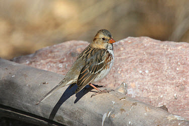 Harris Sparrow (Zonotrichia querula) adult, New Mexico  -  Michael Gore/ FLPA