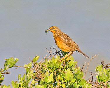 Orange-throated Longclaw (Macronyx capensis) adult with insect prey, South Africa  -  Michael Gore/ FLPA