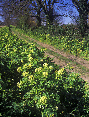Horse parsley (Smyrnium olusatrum) flowering beside lane, Burnham Norton, Norfolk, England, early spring  -  Peter Wilson/ FLPA