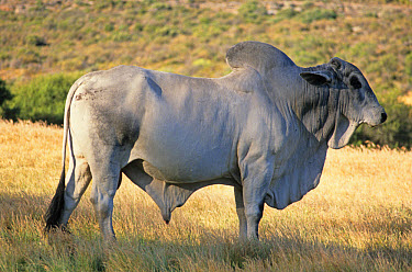 Brahma Cattle (Bos indicus) brahman bull on dry pasture, Seivefontein, Namaqualand, South Africa  -  Chris & Tilde Stuart/ FLPA