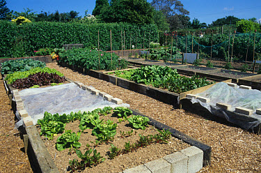 Vegetable garden, with raised beds made from concrete blocks and railway sleepers, fleece covering some plants, Probus, Cornwall, England  -  Primrose Peacock/ Holt/ FLPA