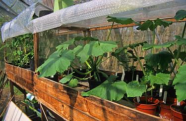 Interior of greenhouse, using bubblewrap as insulation, Berkshire, England  -  Rosemary Mayer/ FLPA