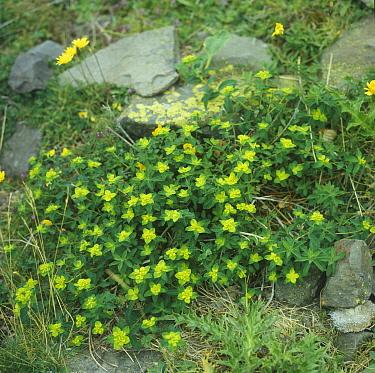 Petty Spurge (Euphorbia peplus) plant growing amongst rocks  -  Roger Wilmshurst/ FLPA