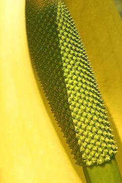 Yellow Skunk Cabbage (Lysichitum americanum) flowering, close-up of spadix, South Yorkshire, England  -  Paul Hobson/ FLPA