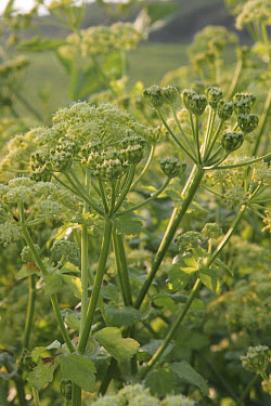 Horse parsley (Smyrnium olusatrum) flowering, growing on roadside verge, England  -  Nicholas and Sherry Lu Aldridge/