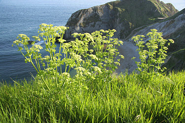 Horse parsley (Smyrnium olusatrum) flowering, growing on coastal cliff edge, Dorset, England  -  Nicholas and Sherry Lu Aldridge/