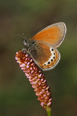 Alpine Heath (Coenonympha gardetta) adult, at rest on bistort flower  -  Martin Withers/ FLPA